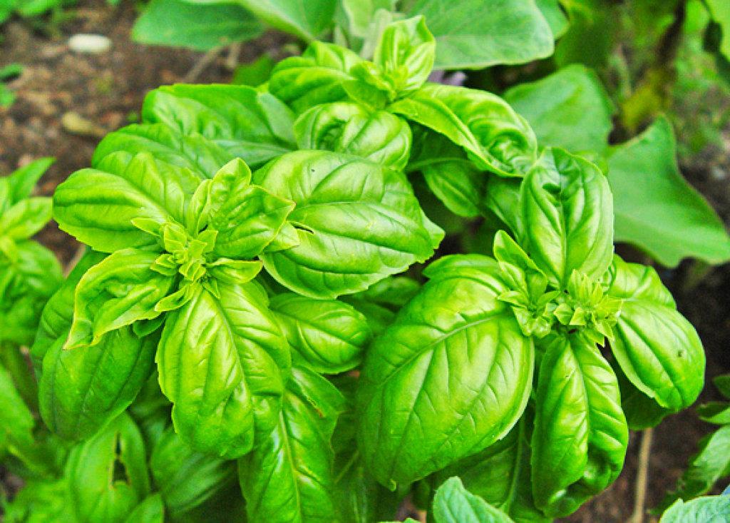 Albahaca especiate for Plantas ornamentales y medicinales